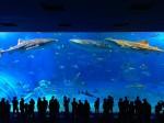 沖縄美ら海水族館の大水槽内のジンベイザメ