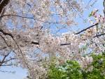 目黒川沿いの桜と春の木