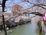目黒川と桜並木の風景