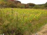 淡路島のひまわり畑