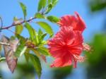石垣島伊原間海岸に咲くハイビスカス