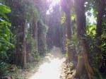 沖縄本島備瀬のフクギ並木、本部町(The row of garcinia trees, Okinawa-ken)