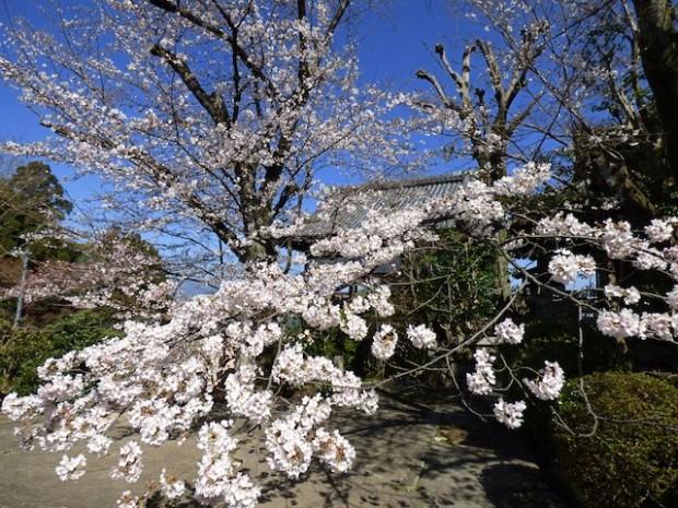 鳥辺山妙見大菩薩妙見堂の桜