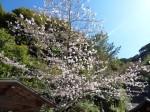 清水寺、阿弥陀堂の前の桜