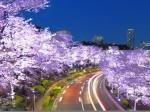 東京ミッドタウンの夜桜並木