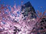 東京ミッドタウンと夜桜