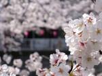 東京目黒川沿いの桜アップ、東京都目黒区
