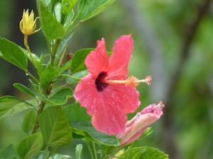 星のや竹富島のホテル内に咲くハイビスカス