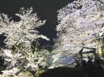 東京千鳥ヶ淵の夜桜2(Cherry blossom at Chidorigafuchi Tokyo, Tokyo)